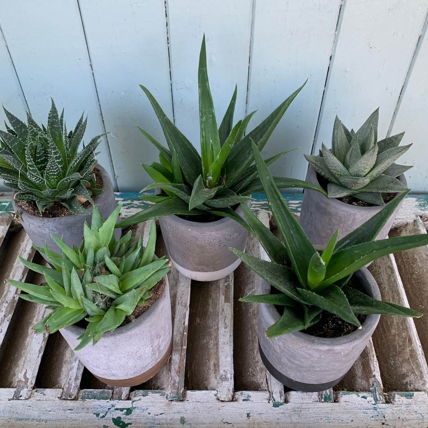Assorted Succulent Plant