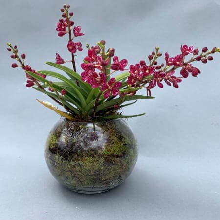 Red Sarcochilus Orchid