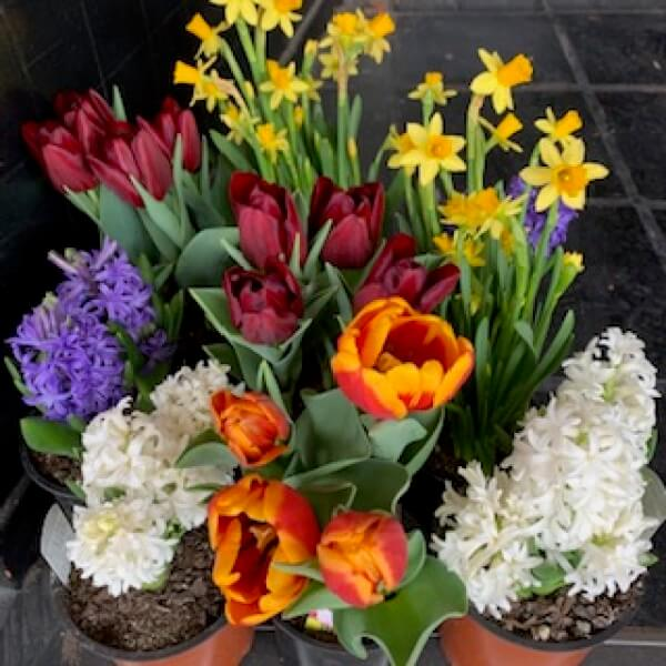 Assorted Spring Bulbs